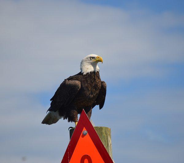 bald-eagle-1-600x532.jpg